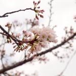 2012年弘前さくらまつり 桜が開花しました