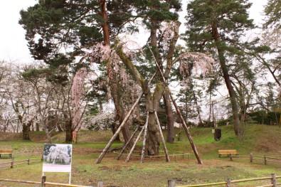 弘前城の大枝垂れ