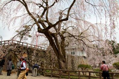 弘前城の桜「御滝桜」