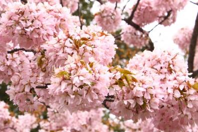 弘前城大山桜