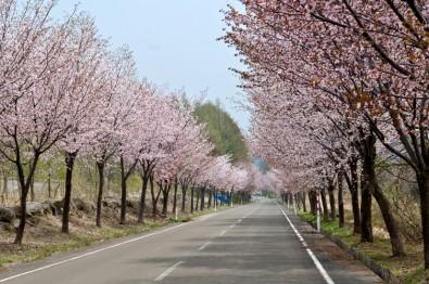 世界一の桜並木