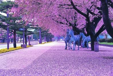 十和田の桜の様子