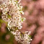 弘前公園 桜