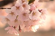 弘前城(弘前公園)「追手門付近の桜」