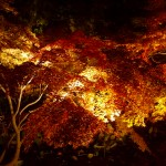弘前城菊と紅葉まつり人出10万4000人増に