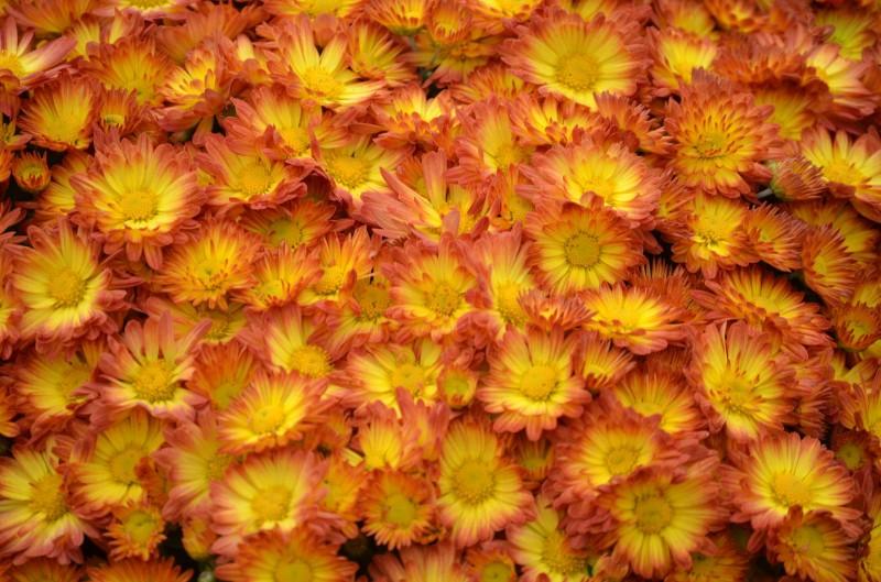 弘前城菊と紅葉まつり 菊