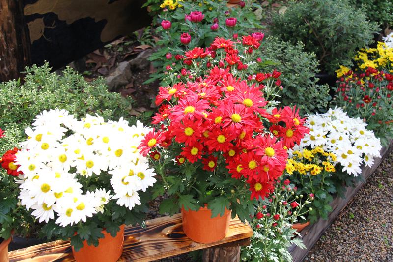 弘前城菊と紅葉まつりの菊