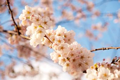 満開の桜(弘前城のある弘前公園)