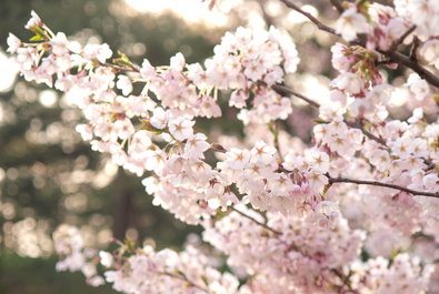 桜の開花期間(弘前城のある弘前公園)
