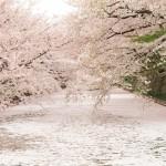 弘前さくらまつりで花見客を魅了する「桜の絨毯(じゅうたん)」