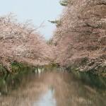 咲き始め!弘前公園・弘前城の桜!【2014/4/24/8:00/弘前公園・弘前城の桜】