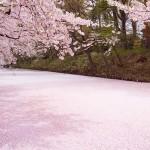 桜の絨毯(じゅうたん)は、弘前さくらまつりの「もう一つの楽しみ」「撮影ポイント」