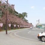 弘前さくらまつりまで1日!弘前公園外堀のソメイヨシノの開花発表