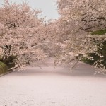 桜の絨毯(じゅうたん)が見ごろを迎えそうです【2014/4/30 弘前公園内・弘前城の桜の様子】