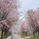 岩木山の麓に広がる世界一の桜並木