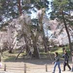 2014年の枝垂れ桜