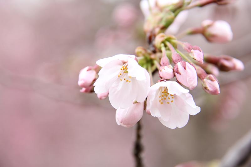 桜をアップで撮る