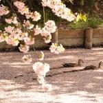 各所で桜の花吹雪が見られ、桜の絨毯は見ごろを迎えています【2014/5/1 弘前公園内・弘前城の桜の様子】
