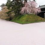 弘前城追手門付近の花筏