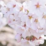 弘前公園のさくら情報更新/東京・羽田空港に弘前公園の桜【弘前公園・桜開花予想】