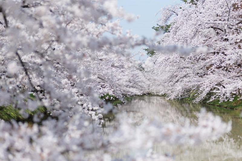 弘前さくらまつり 満開の桜