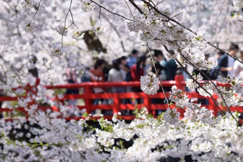 弘前城 桜と下乗橋
