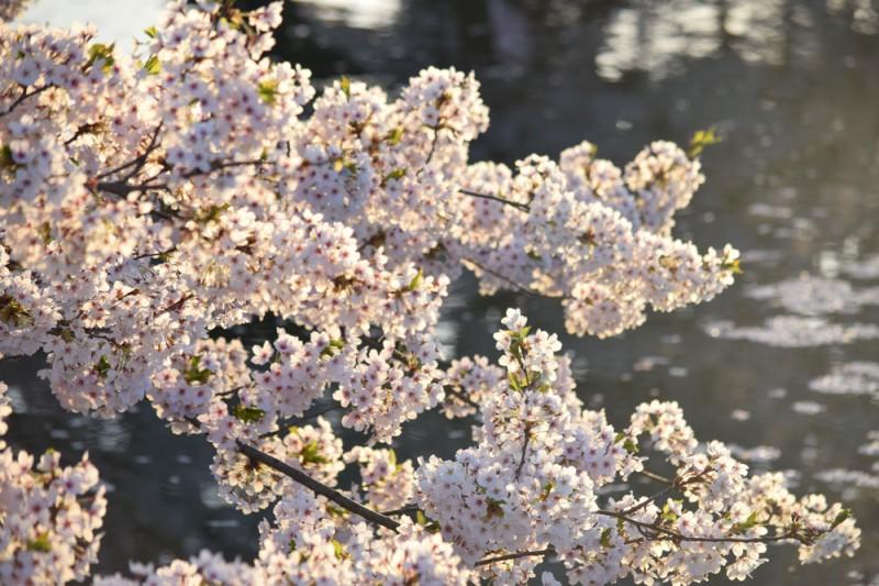 追手門付近 弘前の桜