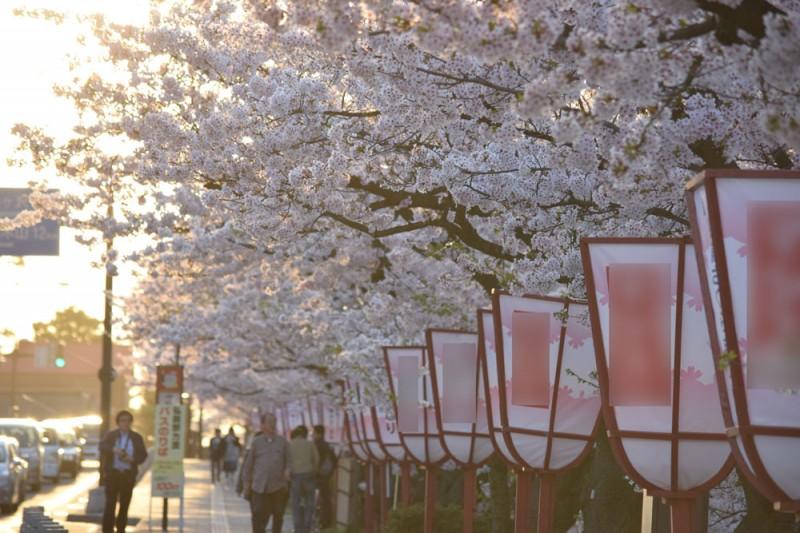外濠・桜(弘前公園)
