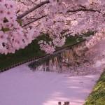 """【弘前さくらまつり】弘前公園の花筏が見ごろを迎えています【Facebook""""12,000いいね!""""突破】"""