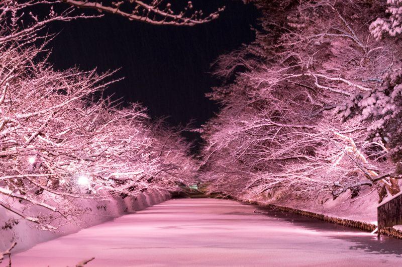 冬に咲くさくらライトアップ 弘前公園