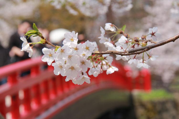 2013年弘前公園(城)さくらまつりでの桜が満開の様子