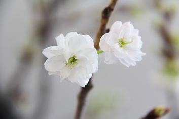 弘前公園・弘前城の桜の枝