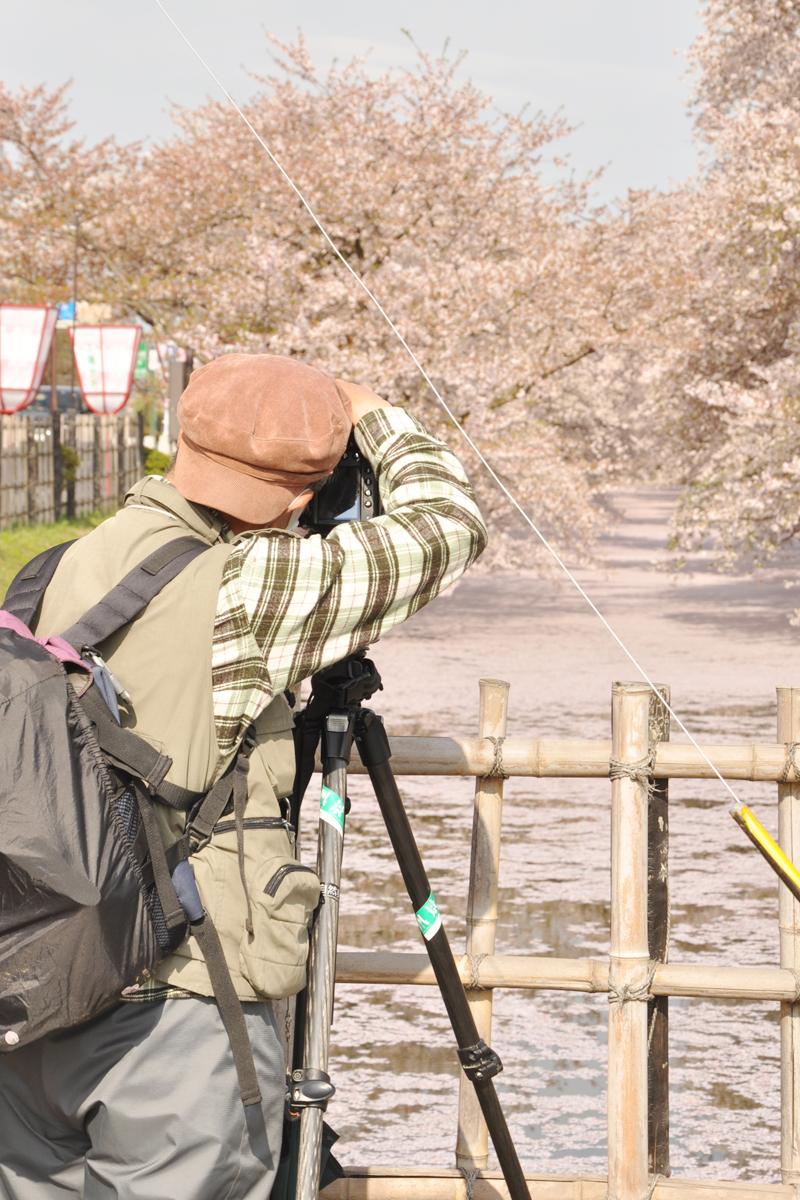 弘前公園・弘前城の桜の絨毯を撮影するカメラマン