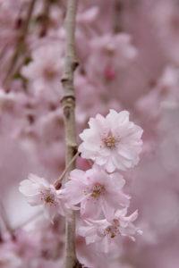 弘前公園・弘前城 2014年5月2日付 桜の開花情報