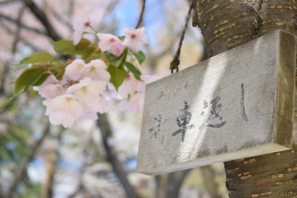 桜・御車返し