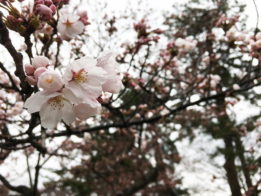2017年4月19日付 弘前公園さくら情報(第7回)【弘前公園・弘前城】