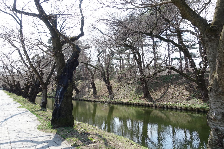 2017年3月31日付 弘前公園さくら情報(第4回)【弘前公園・弘前城】