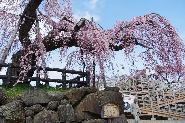 弘前公園 本丸 弘前シダレ