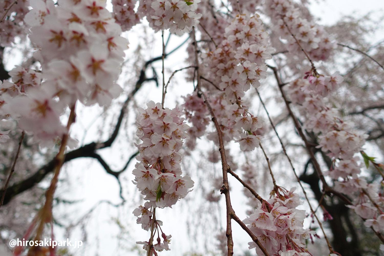 弘前公園 シダレザクラ