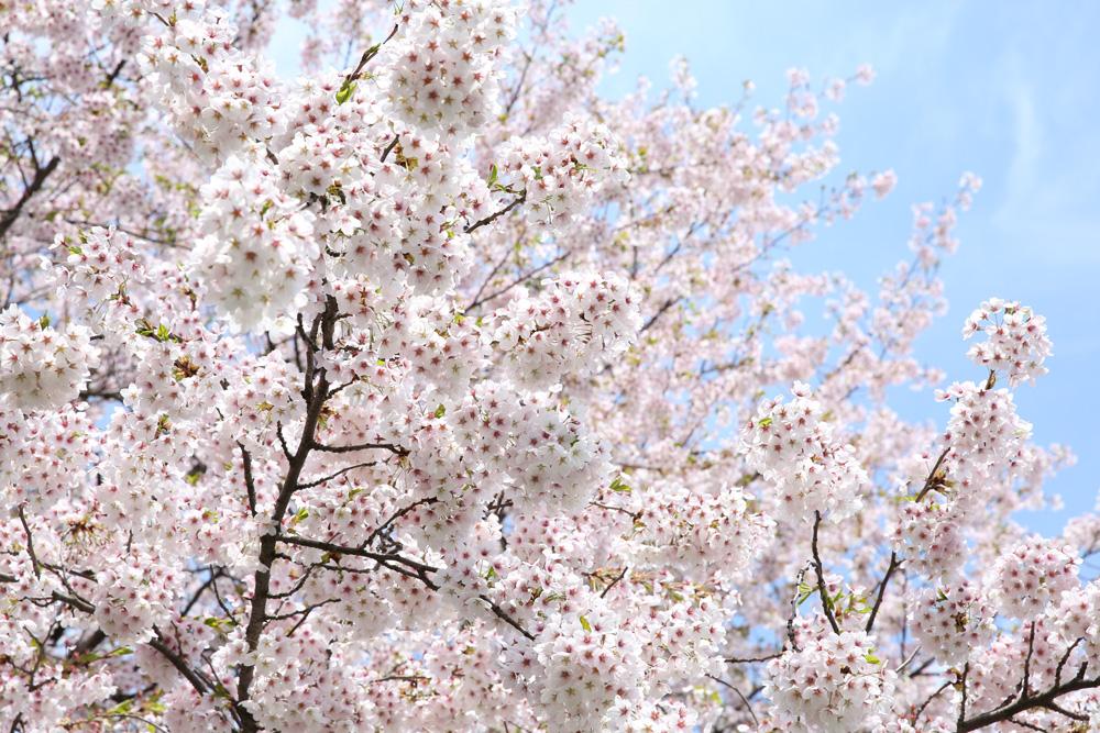 弘前公園 ピクニック広場のソメイヨシノ