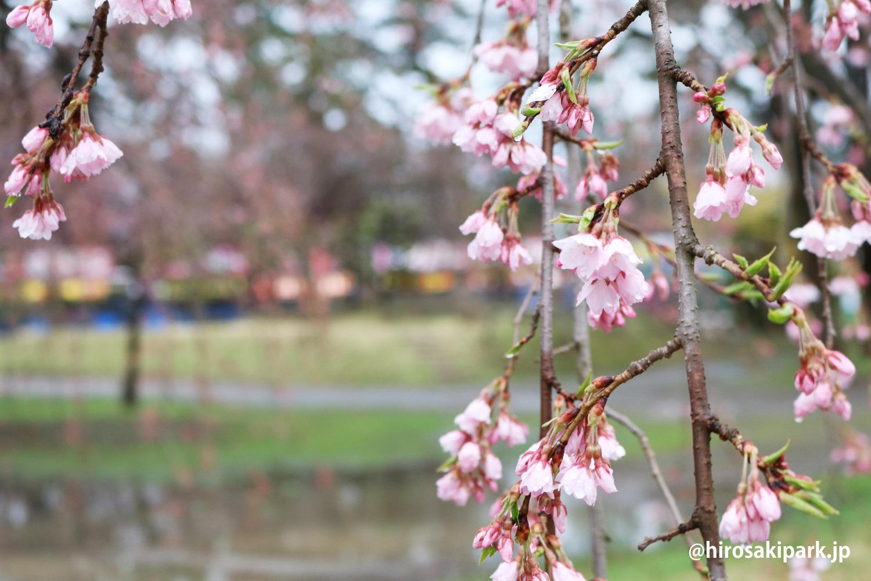 弘前公園・四の丸 シダレザクラ
