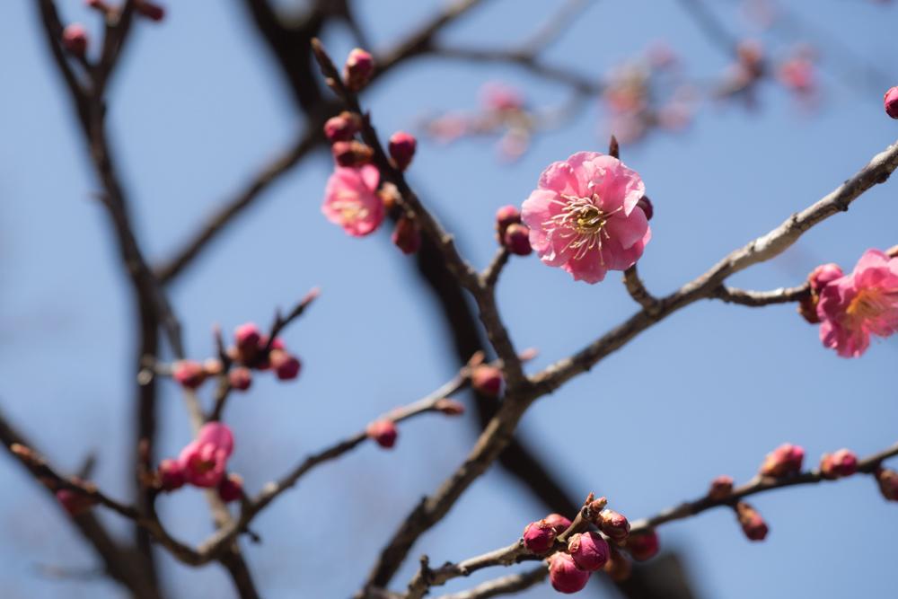 弘前公園 梅の花