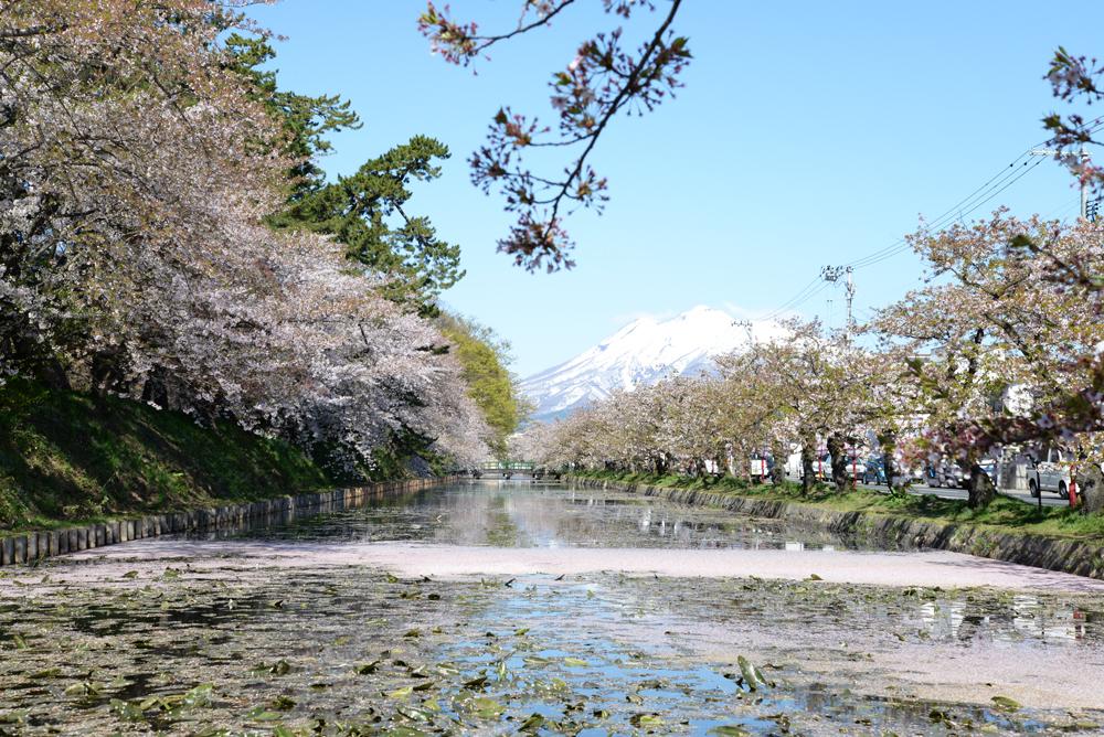 岩木山と外濠の桜の様子(弘前公園)