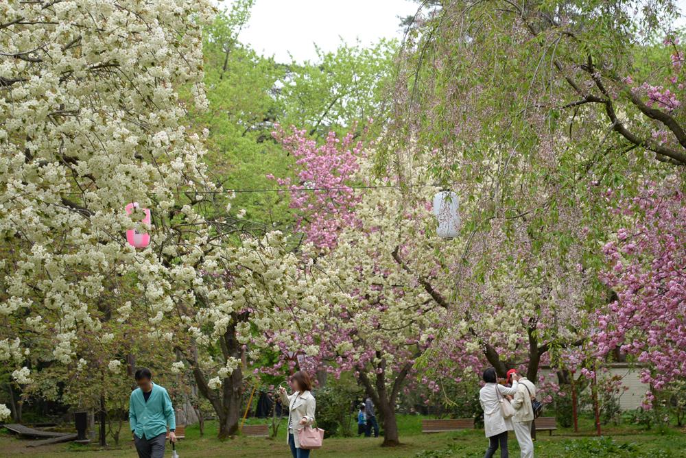 ピクニック広場・遅咲き桜