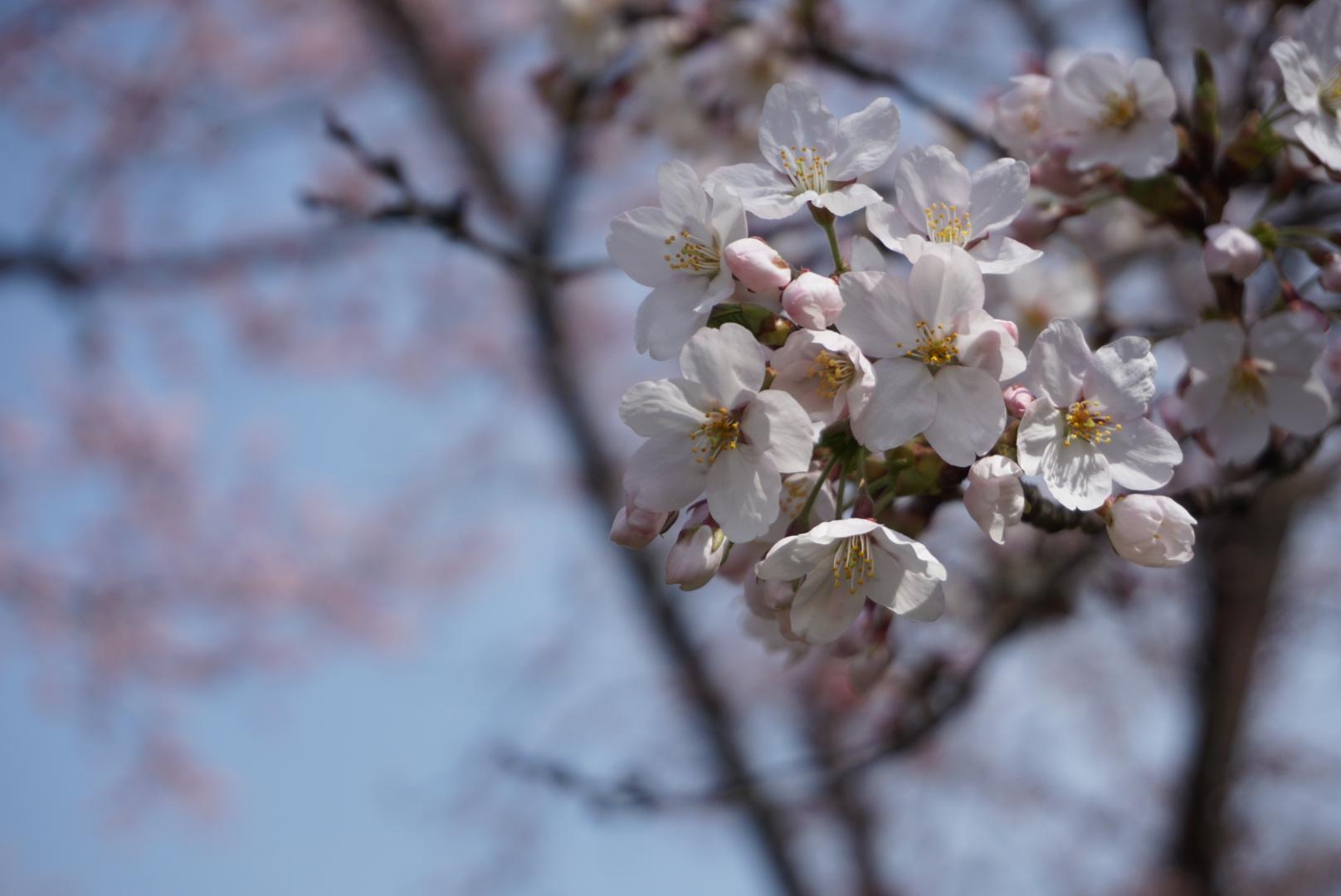 弘前公園 (2018年4月21日 撮影)