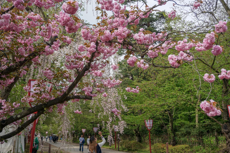 2018年5月6日 弘前公園 さくら