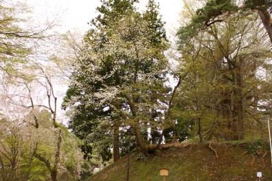 弘前城の正徳5年のカスミザクラ