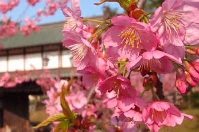 弘前城横浜緋桜