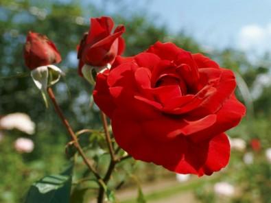 弘前城植物園のバラが見ごろ
