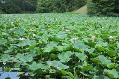 蓮池濠の蓮の花